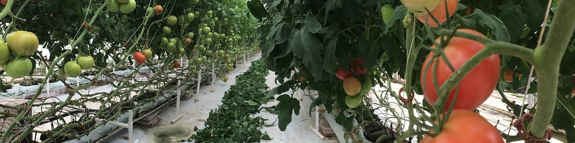 Tomato greenhouse.JPG