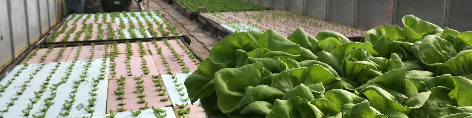 Greenhouse Lettuce.JPG