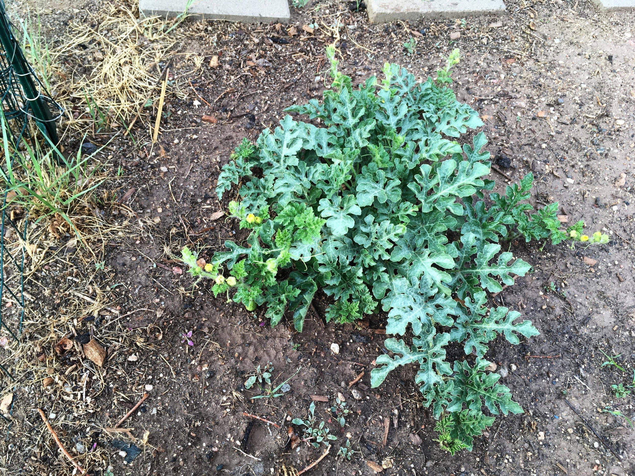 Melon growth (2).jpeg