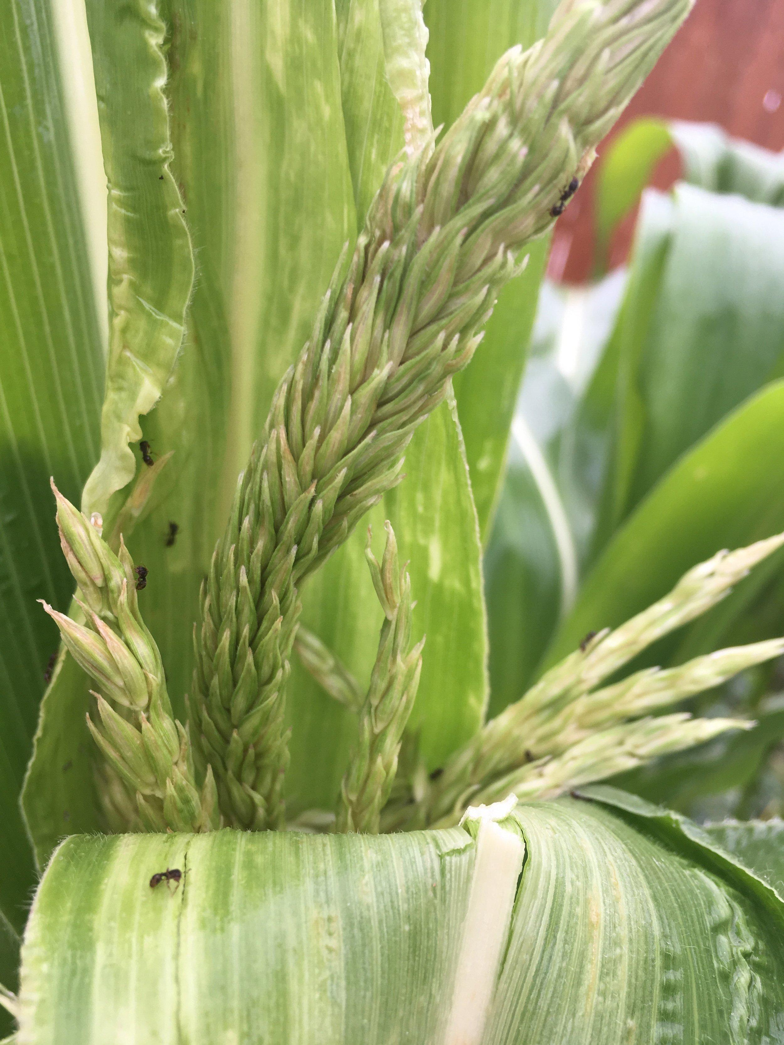 Corn aphids (3).jpeg