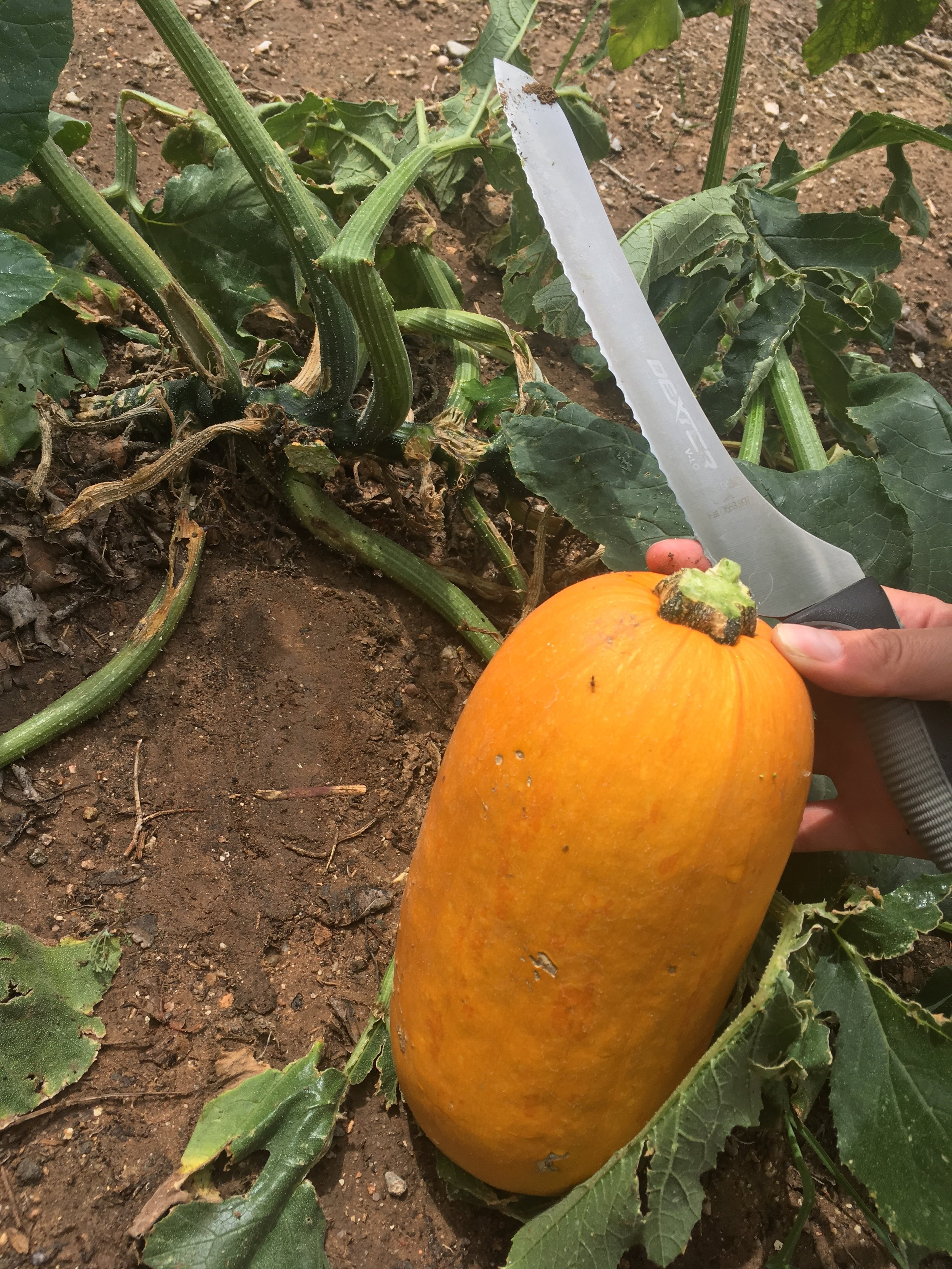 Pumpkin harvest (7).JPG