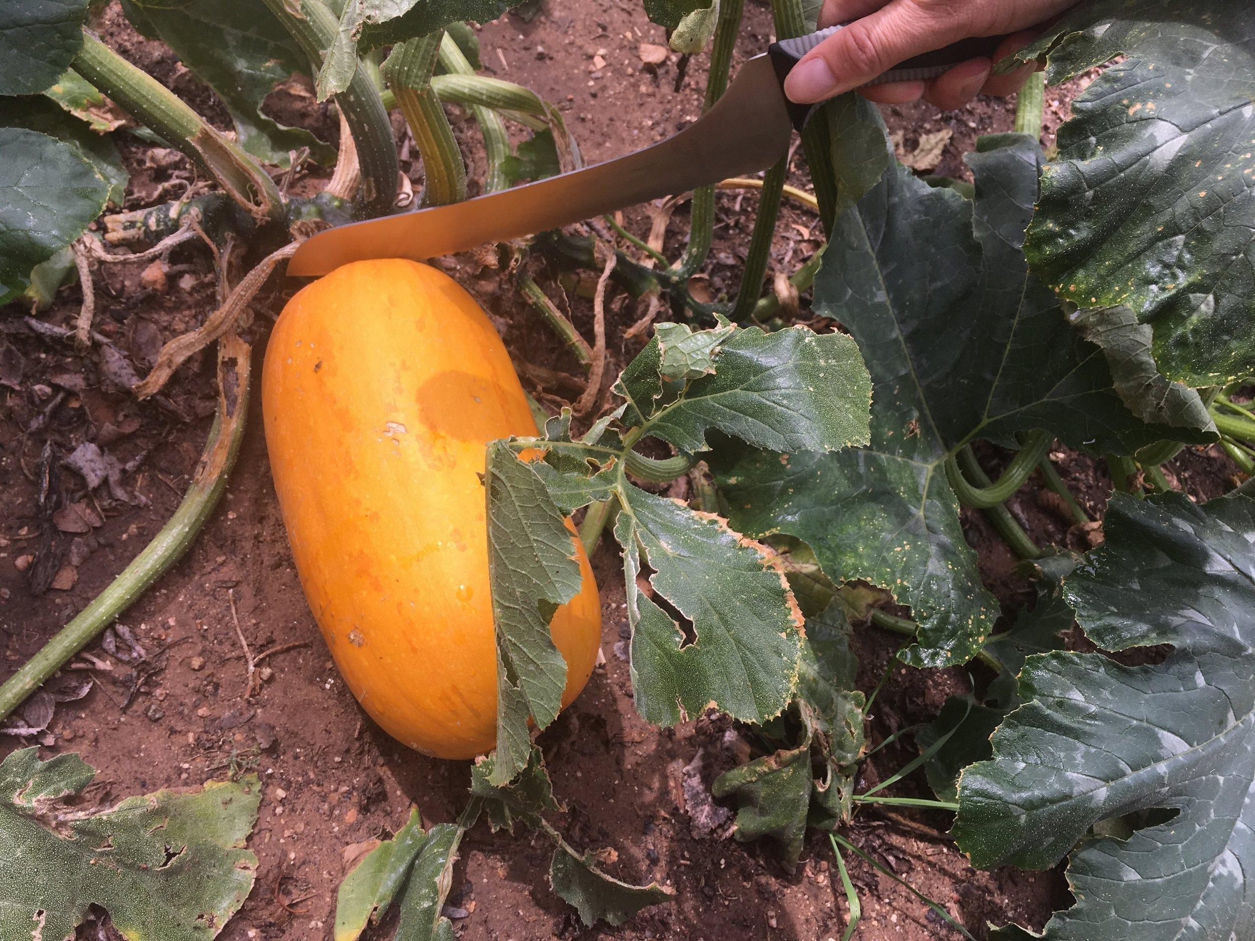 Pumpkin harvest (5).JPG