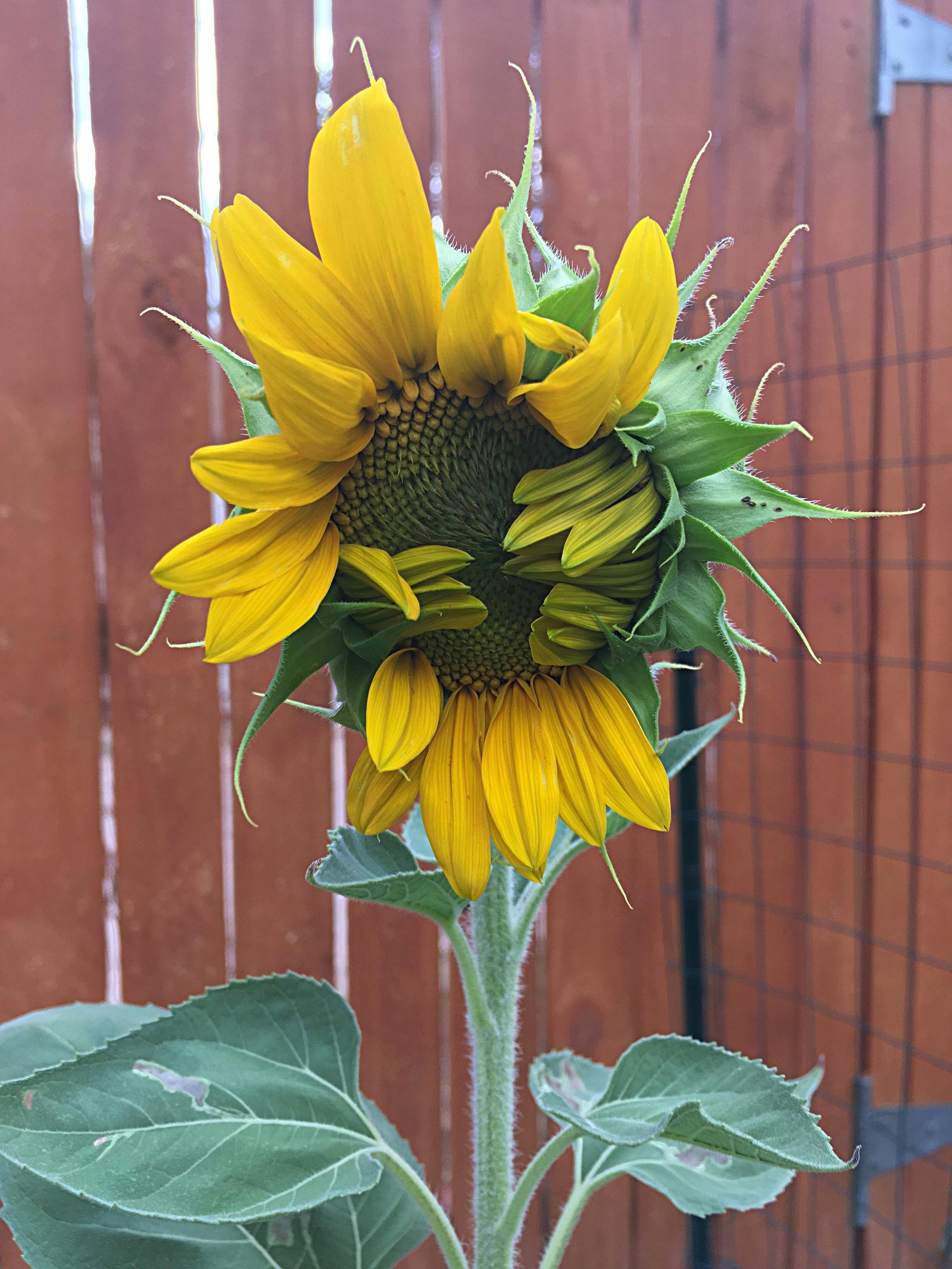 Sunflower growth.jpeg