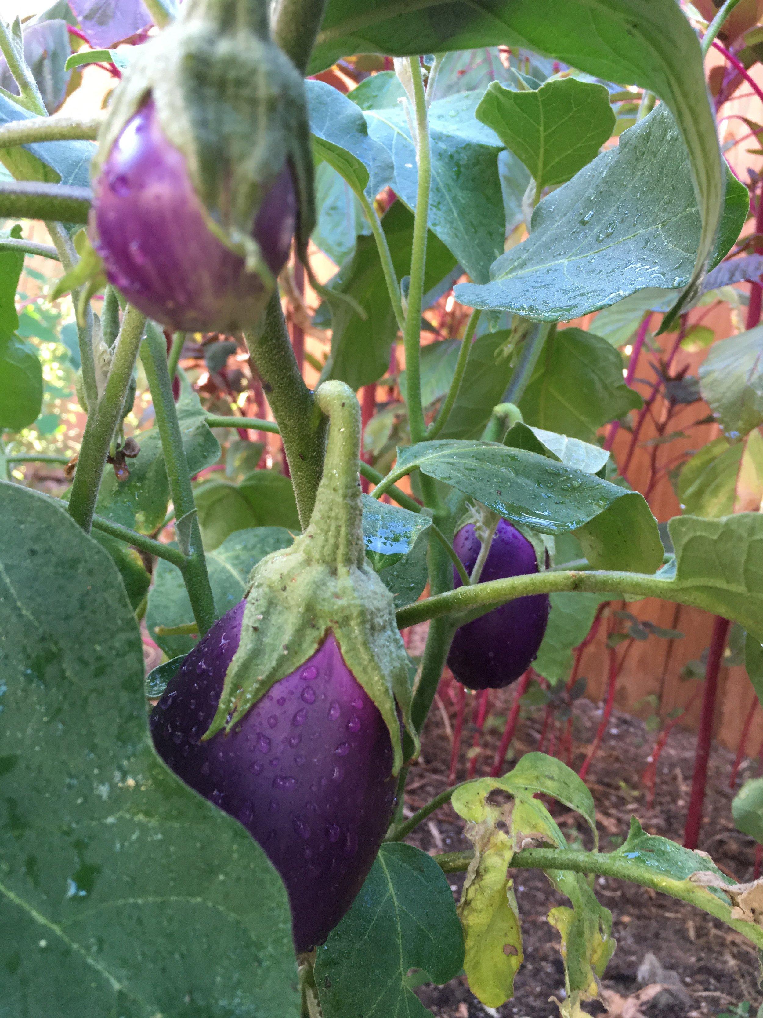 Eggplants (1).jpeg