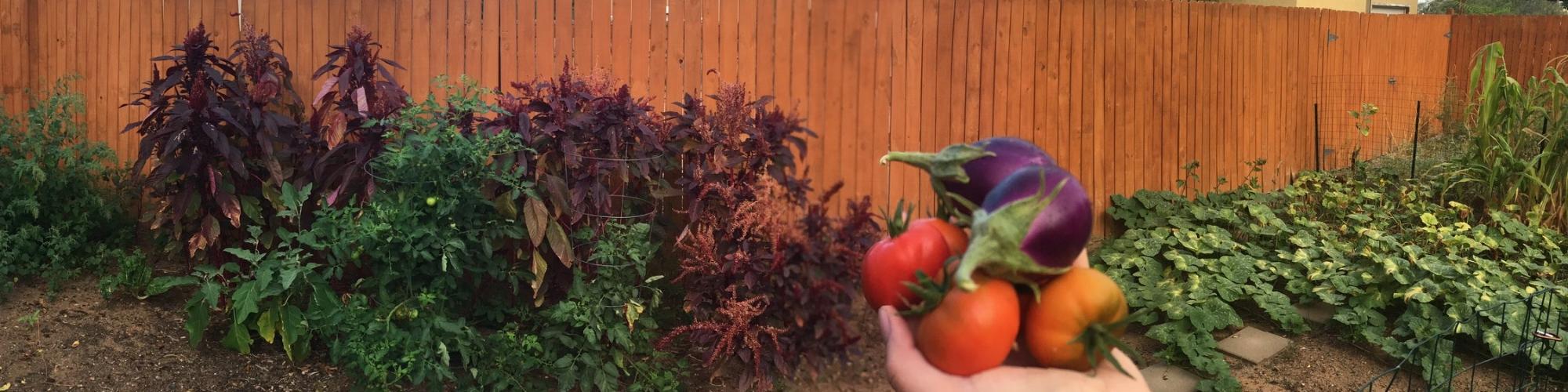 Tomato harvest (1).jpg