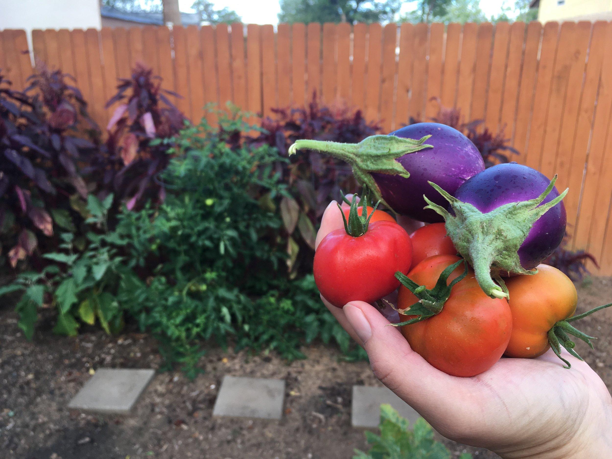 Tomato harvest (3).jpg