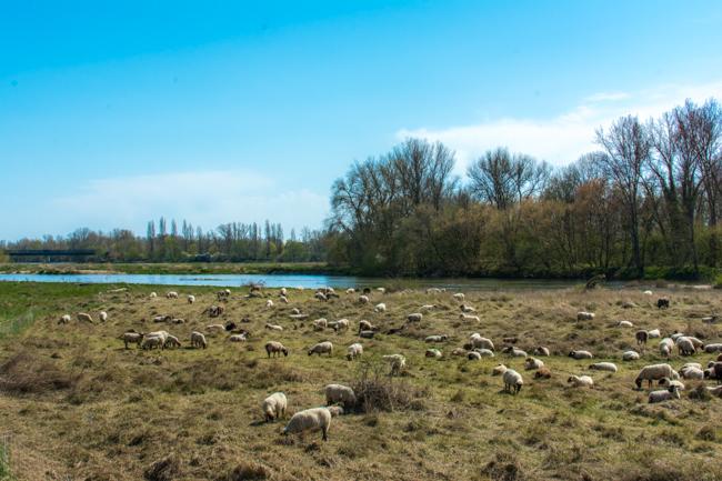 Sheep on the Loire.jpg