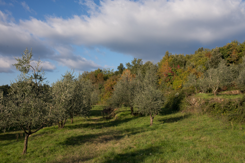 One of the olive groves