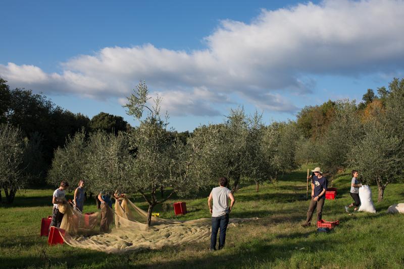 gathering olives