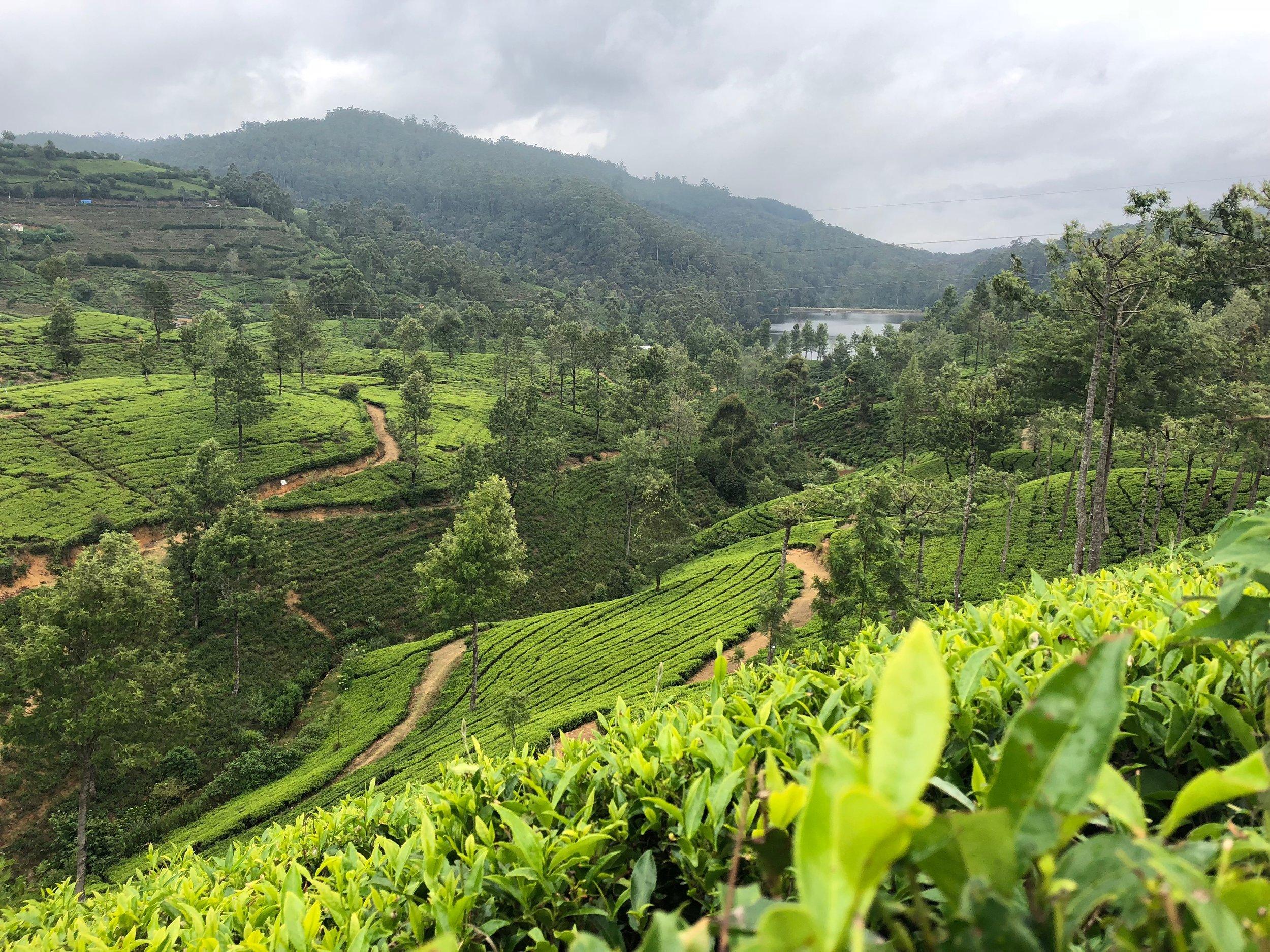 Fields of tea.....