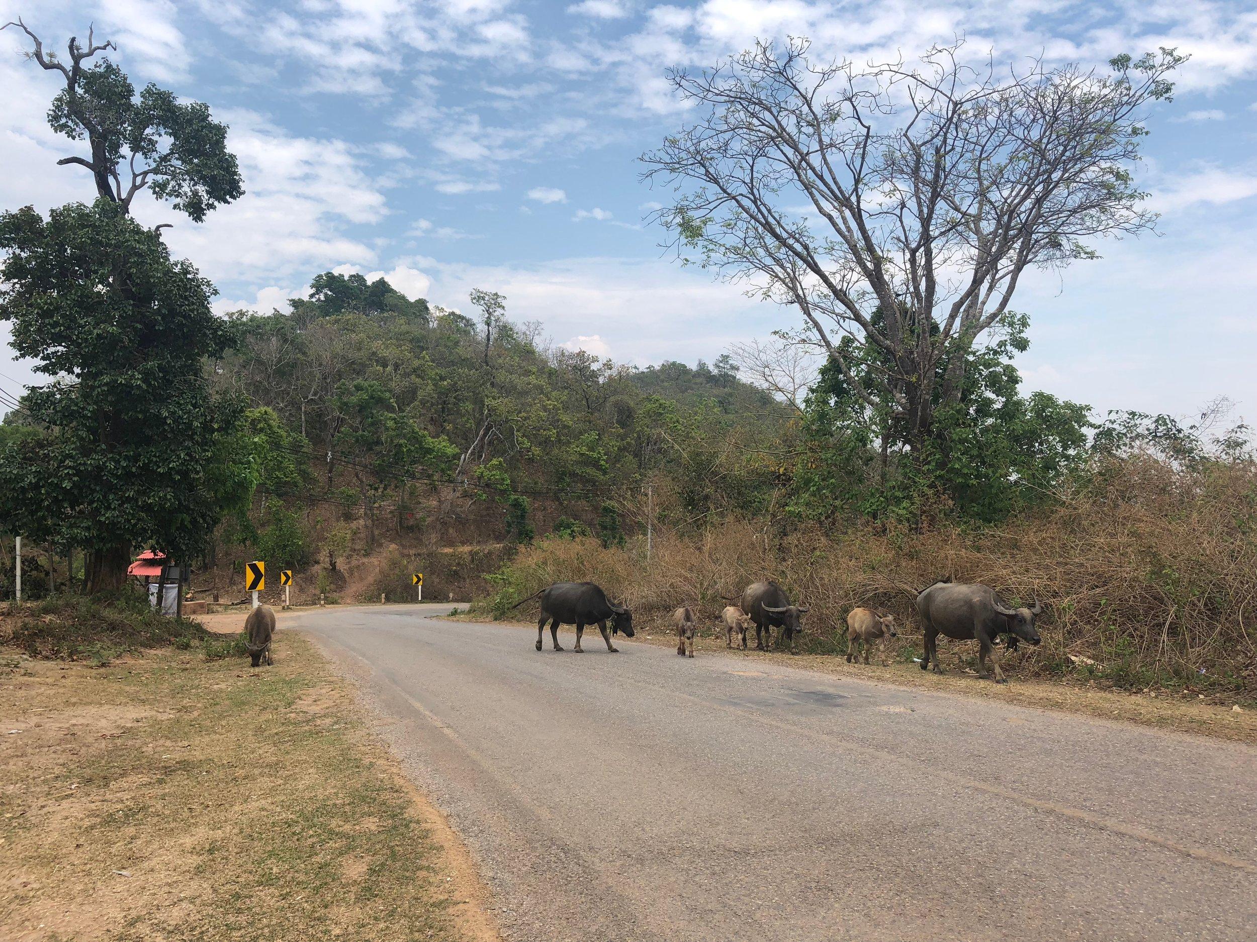 Water buffalo along the road