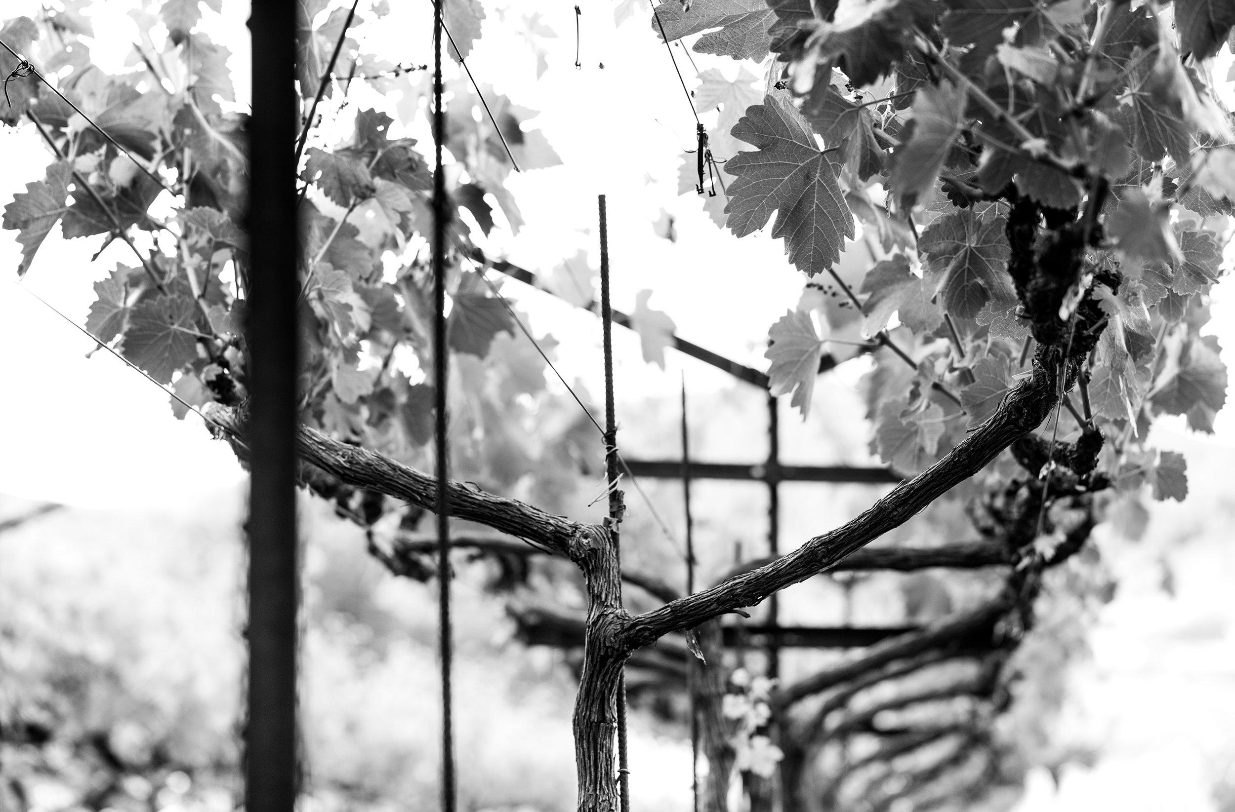 Vineyards_B&W.jpg