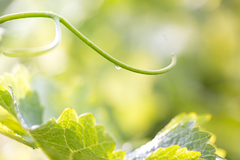 Vineyards_rain.jpg