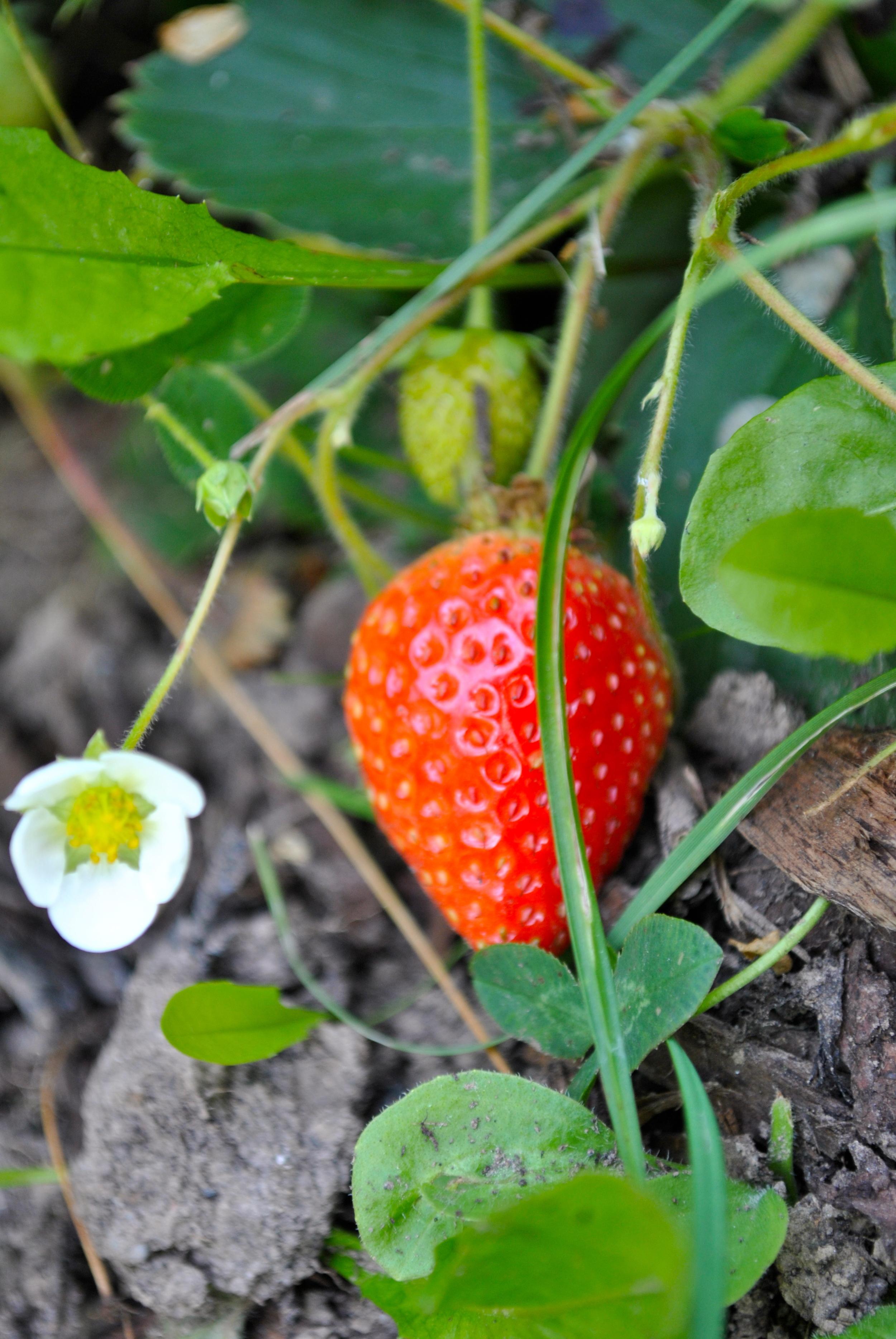 Nachzügler Erdbeeren