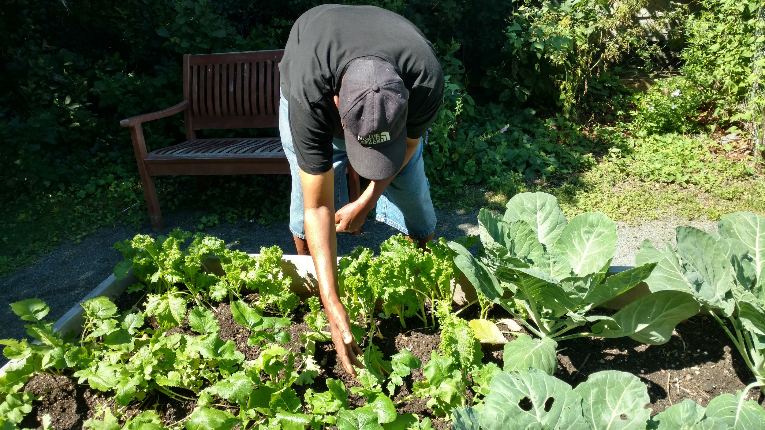 Harvesting Turnips at McPherson Garden