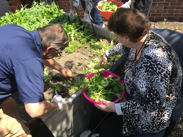 Guests at Rose Baker harvesting fresh greens for the salad bar!