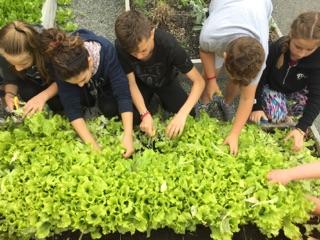 Salad Harvesting.jpg