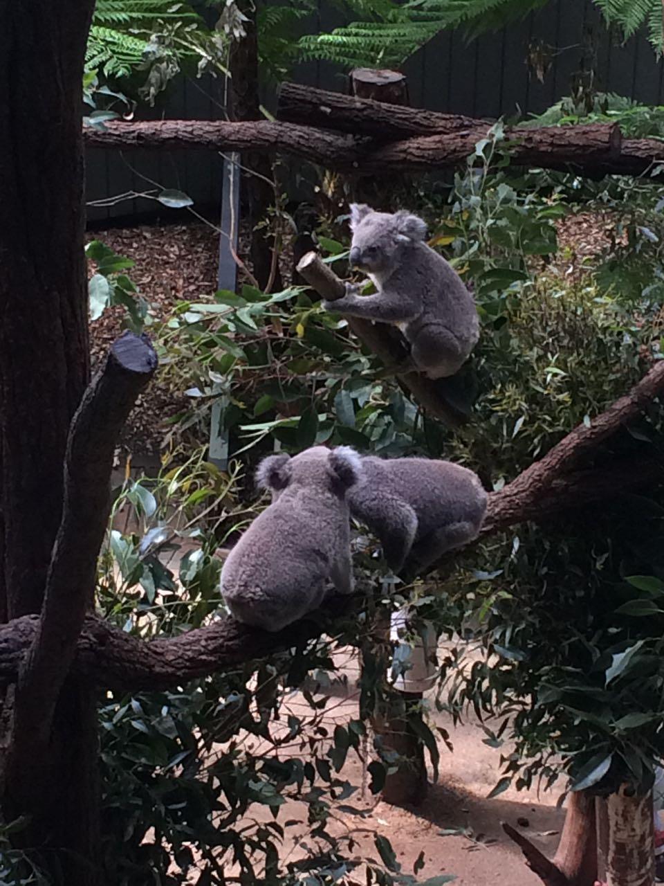 Taronga Koalas.jpg