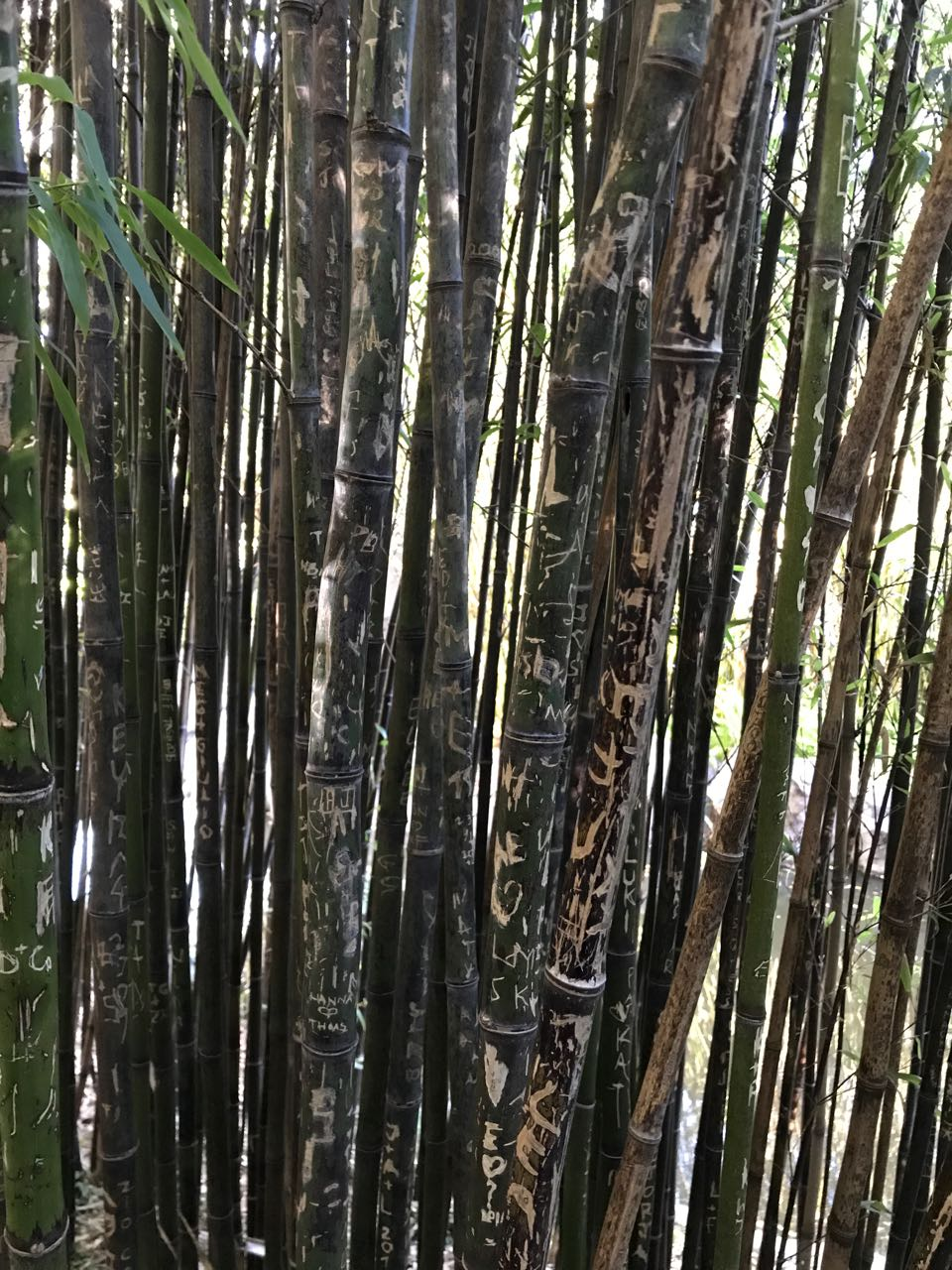 bamboo in Chinese Friendship garden.jpg