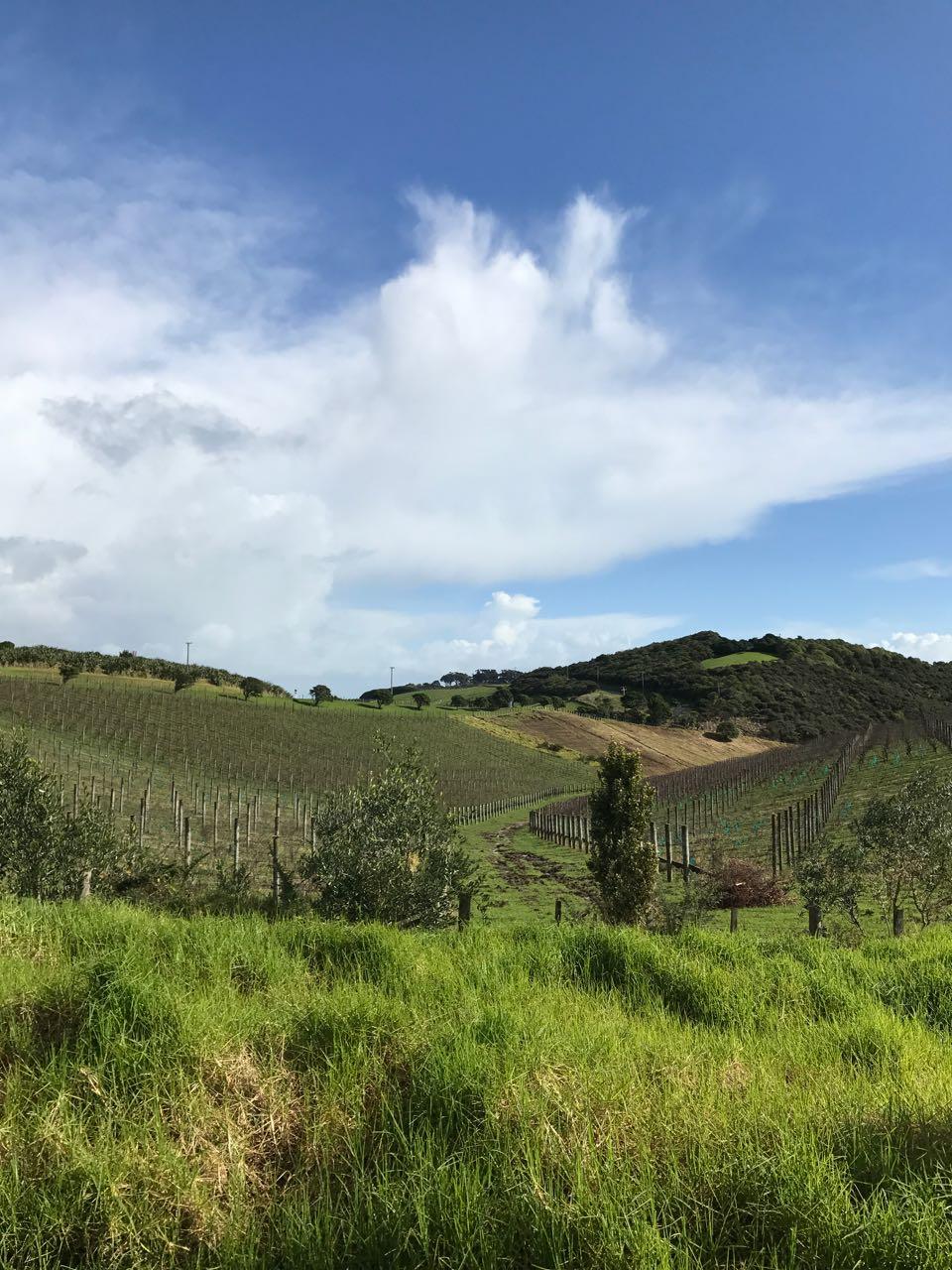 Waiheke vineyards.jpg