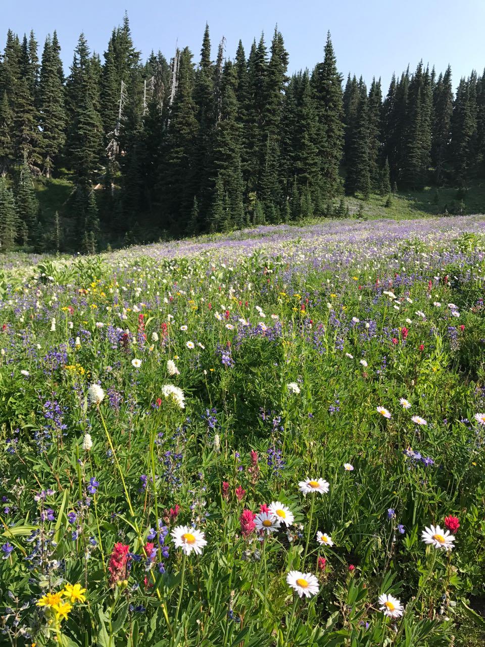 Mt. Rainier flower field