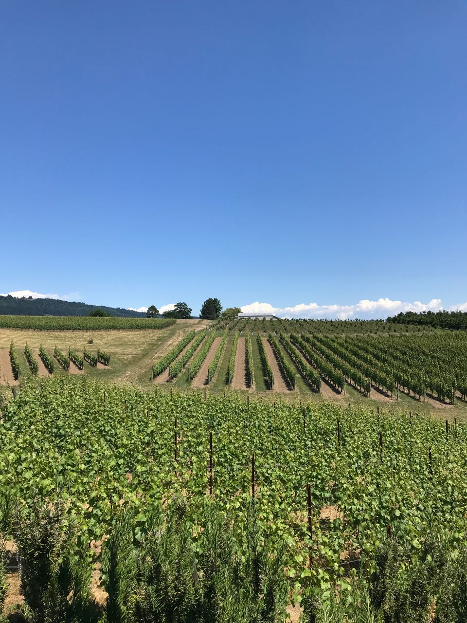 willamette vines.jpg