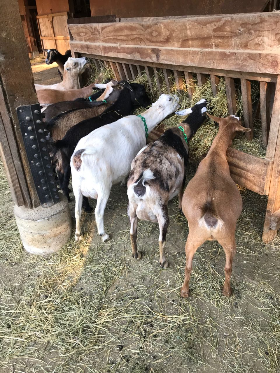 goats feeding.jpg