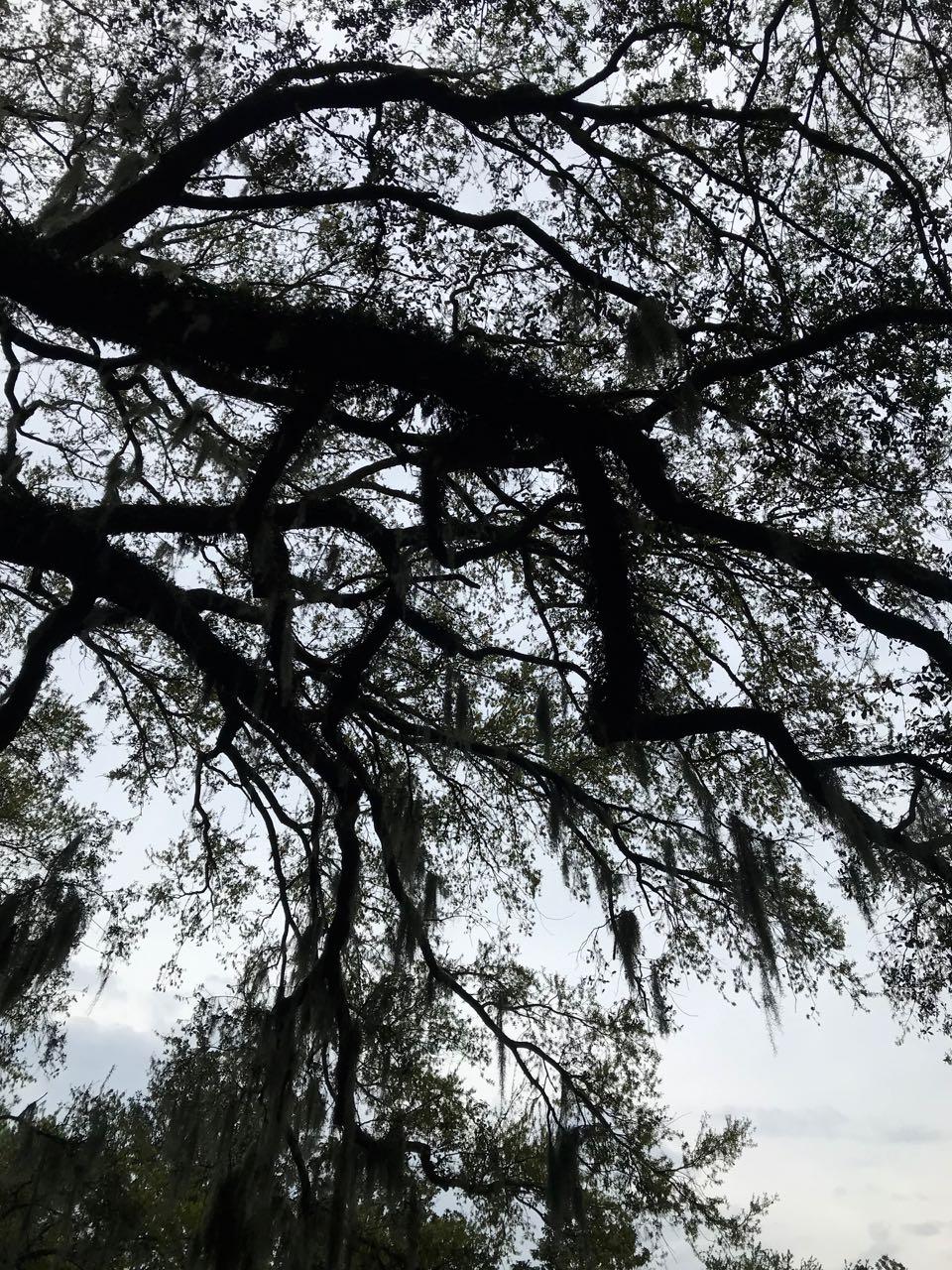 Oak Tree Forsyth Park Savannah.jpg