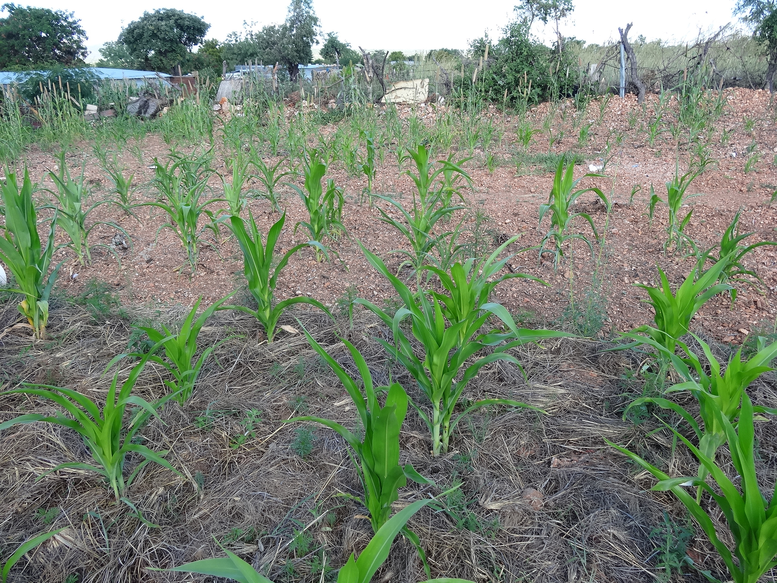 Vingerkraal- corn- bad- 7.jpg