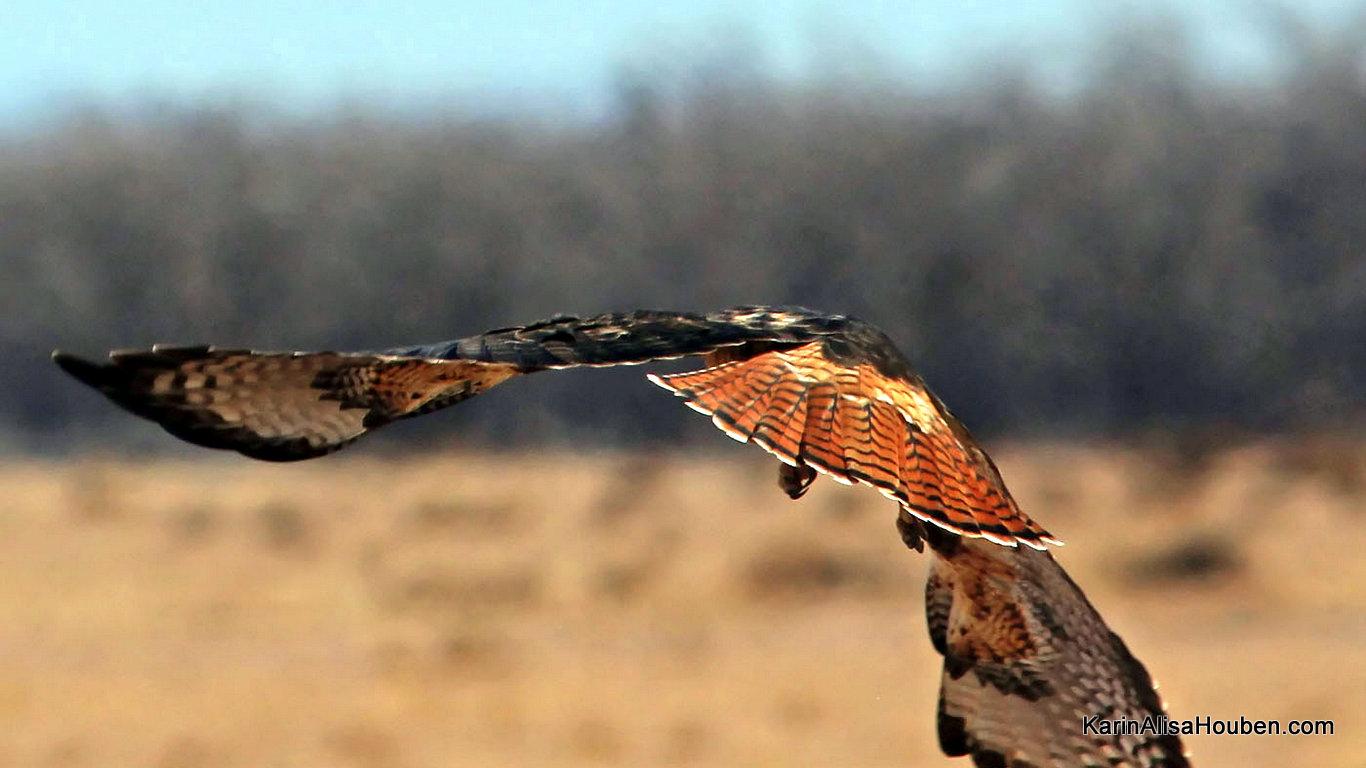 karin-alisa-houben-red-tail-hawk-on-the-wing