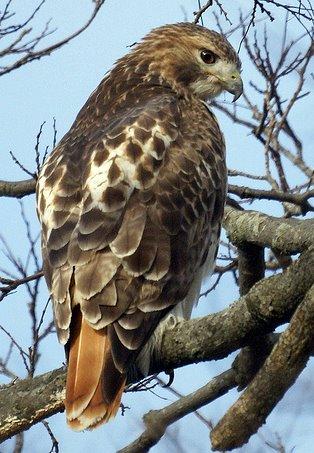 krin-alisa-houben-red-tail-hawk-branch