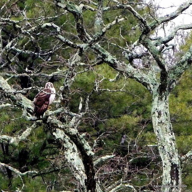 karin-alisa-houben-red-tail-hawk-ashokan-reservoir