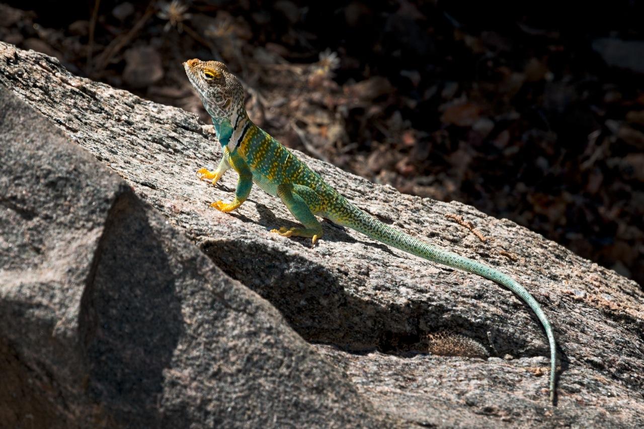 Collarded Lizard.jpeg