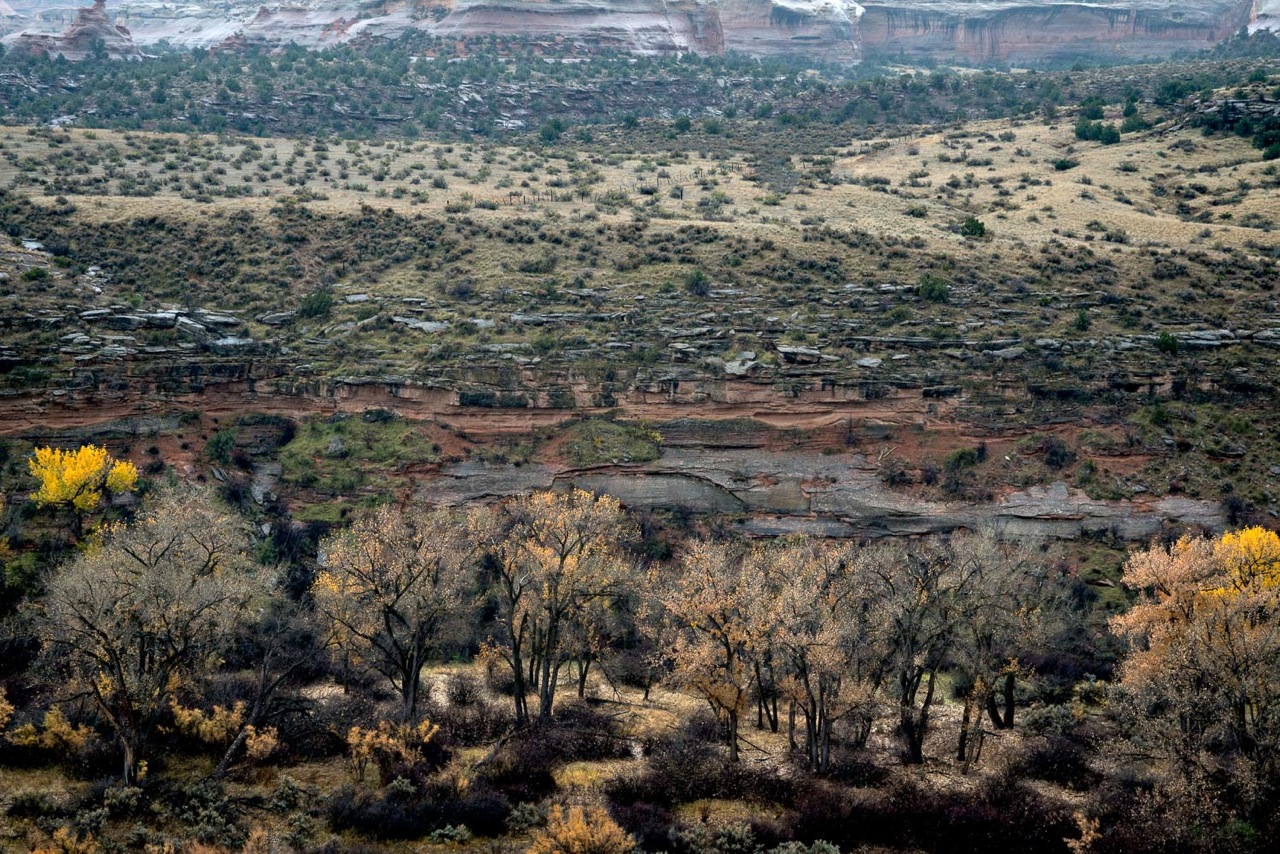 Colorado River Cotonwoods.jpeg