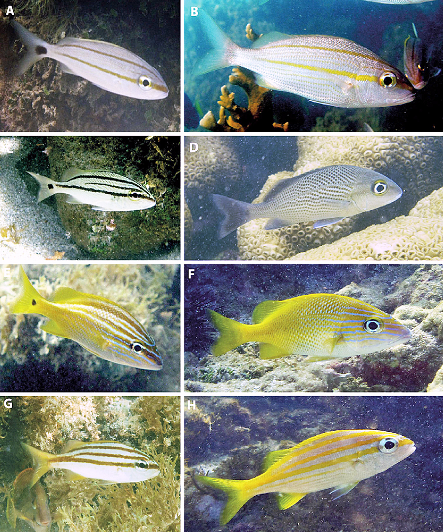 Ontogenetic patterns of coloration displayed by indi- viduals of the genus Haemulon and used to identify species and life phases.  A  H. aurolineatum  juvenile,  B   H. aurolineatum  adult,  C  H. parra  juvenile,  D  H. parra adult,  E  H. plumieri juvenile,  F  H. plumieri  adult,  G   H. squamipinna  juvenile,  H   H. squamipinna  adult