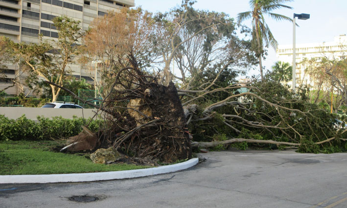 miami-hurricane-irma-aftermath-2017-broken-tree.JPG