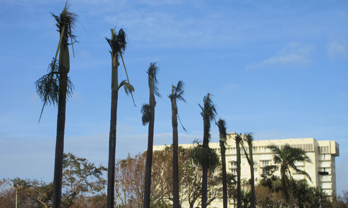 miami-hurricane-dead-palmtrees-after-irma.JPG