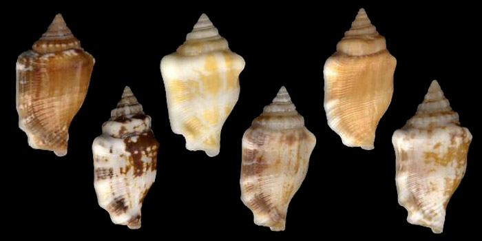 Pattern variability in  Canarium mutabile  - all specimens from Tahiti