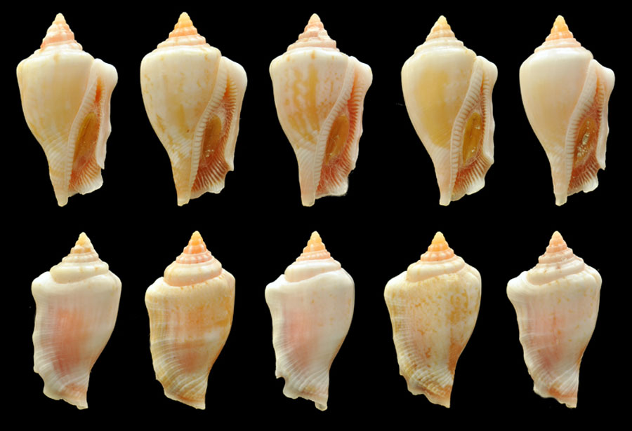 Canarium mutabile roseoparvum  - 5 specimen seashells from 5 different Polynesian islands.
