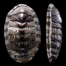 sypharochiton-pelliserpentis-sinclairi-chiton-species-new-zealand-polyplacophora.jpg