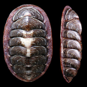 onithochiton-neglectus-chiton-species-new-zealand-polyplacophora.jpg