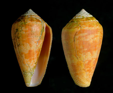C. guanche orange form, 34 mm, La Caleta, collection J.M. Barrios