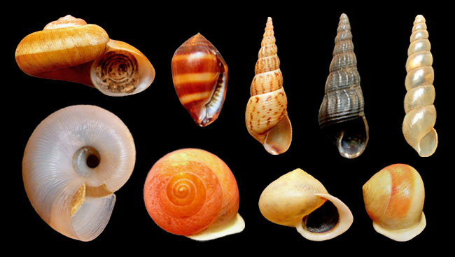 Left to right, up to down: Poteria cf. jamaicensis adult, Melampus coffeus, Melanoides tuberculata light and dark forms, Subulina octona, Poteria cf. jamaicensis juvenile, Helicina cf. lundi orange, white and banded forms