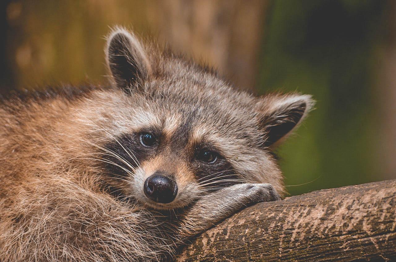 raccoon-bear-zoo-saeugentier-54602.jpg