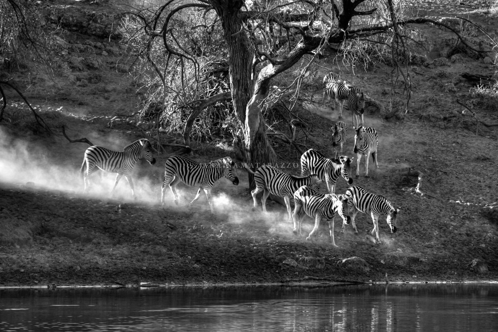 dust light and zebras.jpg
