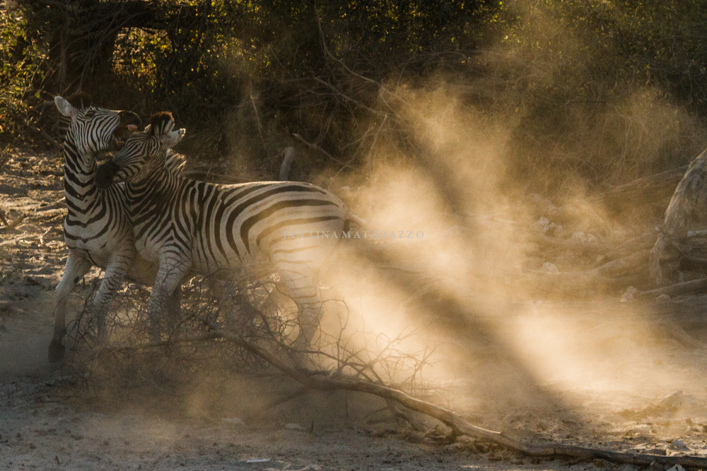light dust and zebras fight.jpg