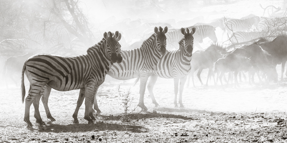 zebras and wildebeest dry season.jpg