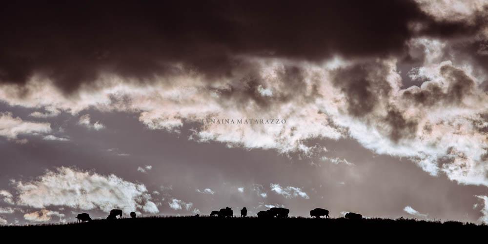horizon and bisons.jpg