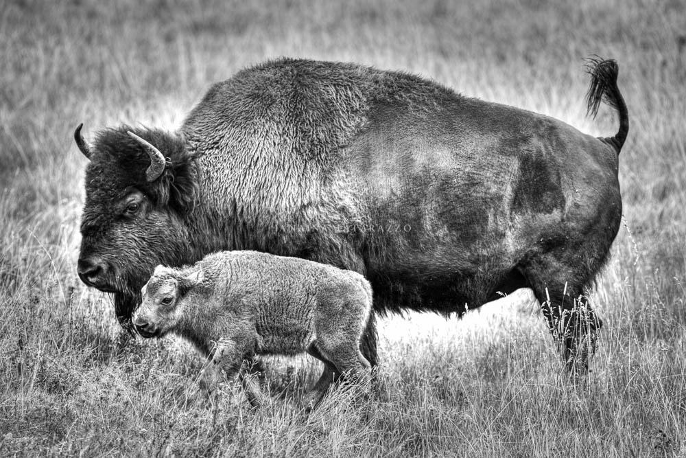mother bison.jpg