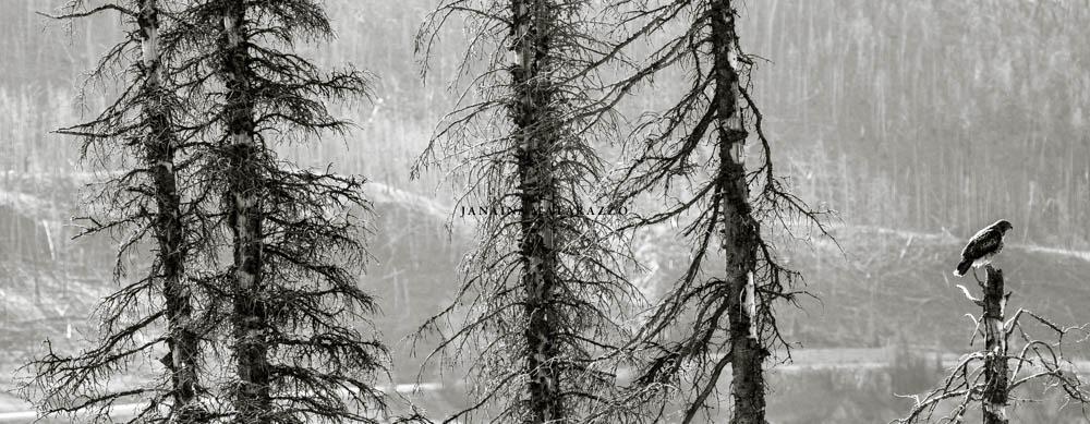 trees and osprey.jpg